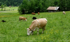 swiss_cows